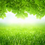 Spring seasonal background, green grass and oak leaves grows Royalty Free Stock Photography