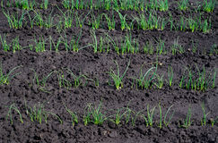 Spring seeding onions. On wet earth Royalty Free Stock Image