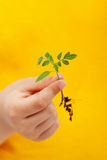 Spring seedling in child hand Stock Image