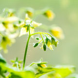 Spring seedling plant of blooming young tomato on blur green bac Royalty Free Stock Photography