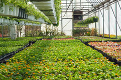 Spring seedlings in greenhouse. A view of fresh, new spring seedlings and potted plants growing in a nursery greenhouse or hothouse Stock Images