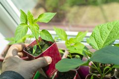 Spring seedlings. Low sprout of pepper in hand, grown at home in boxes. Pepper sprouts grown from seeds stock photos