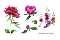 Spring set of pink  flowers. Big peonyes and malva. Hand painted garden plants. Watercolor illustrations isolated on white Royalty Free Stock Images