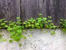 Spring with shamrock plant. New shamrock sprouting on dirty grunge old painted cement wall and wood fence background Stock Photo