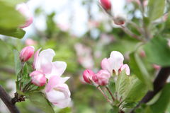 Spring shoot of pink flower of apple tree Royalty Free Stock Image