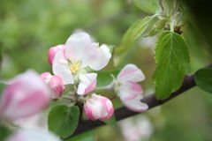 Spring shoot of pink flower of apple tree. Spring shoot of pink flowers of apple tree Stock Images