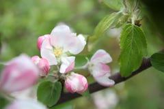 Spring shoot of pink flower of apple tree. Spring shoot of pink flowers of apple tree stock images