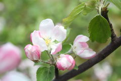Spring shoot of pink flower of apple tree Royalty Free Stock Images