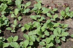 Spring shoots of seedlings. Young radishes in the sun stock photos