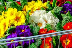Spring in shopping trolley. Plenty of colorful primroses in shopping trolley Stock Photography