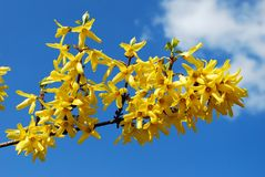 Spring shrub with flowers. Blooming Forsythia. Stock Images