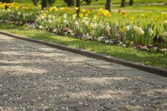 Spring sidewalk with fallen petals of cherry blossoms, sakura and Blossoming lawns with bright colors of flowers. Spring sidewalk with fallen petals of cherry Royalty Free Stock Photography