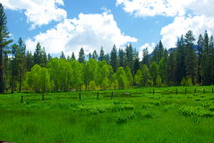 Spring Sierra Meadow. A sierra meadow boardered by Aspens and Pines Stock Photo