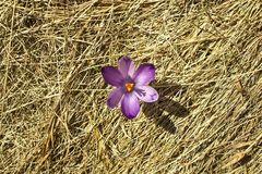 Spring single crocus flower. Single crocus flower blooming in may spring from underneath the dry grass of an alpine meadow Stock Photos
