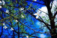 Spring Sky. White Blossoms against the Background of a Blue Sky stock photo