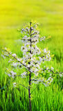 Spring. Small tree closeup blossoms flowers cherry against a blu Stock Images