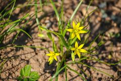 Spring small flowers of Goose onions (Gagea) in the forest. Spring small yellow flowers of Goose onions (Gagea) in the forest stock photos