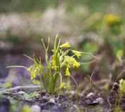 Spring yellow flowers of Goose onions (Gagea) in the forest. Spring small yellow flowers of Goose onions (Gagea) in the forest royalty free stock photo