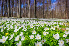 Spring smell. Beautiful spring landscape ,white flowers carpet in the forest Royalty Free Stock Images
