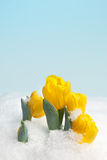 Spring snow Royalty Free Stock Image