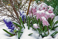 hyacinths in snow Royalty Free Stock Image