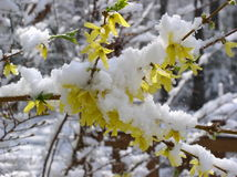 Spring Snow. On blossoming forsythia royalty free stock photos