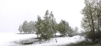 Spring snow falls in the grove. Spring snow falls in the  birch grove Royalty Free Stock Photos