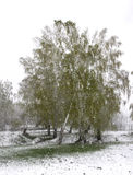Spring snow falls in the grove Royalty Free Stock Photography
