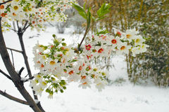 Spring snow Royalty Free Stock Photo