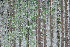 Spring Snow Pine Forest Stock Photos