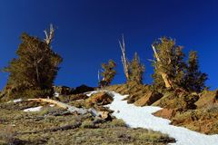 Bristlecone Pines and Snowfields in the White Mountains, California. Spring snow still remained in some of the higher elevations of the White Mountains of Stock Photos