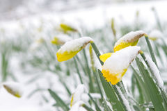 Daffodils in the spring snow. A spring snow storm arrives overnight, leaving the blooming daffodils covered in a layer of snow royalty free stock images