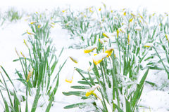 Daffodils in the spring snow Royalty Free Stock Photography