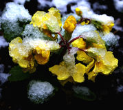 Spring snow on yellow primrose. Spring snow lingers on buds and blooms of yellow primrose Royalty Free Stock Photography