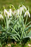 Spring snowdrop Royalty Free Stock Images