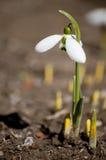 Spring Snowdrop Stock Image