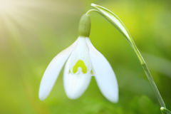 Spring Snowdrop flower Stock Images