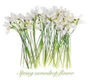 Spring snowdrop flower. Royalty Free Stock Photos