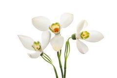 Spring snowdrop flower. Royalty Free Stock Image