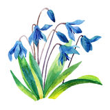 Spring snowdrop flower. Royalty Free Stock Photo
