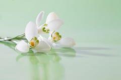 Spring snowdrop flower. Stock Image