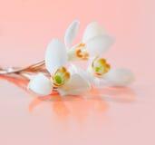 Spring snowdrop flower. Stock Photo