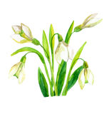 Spring snowdrop flower. Royalty Free Stock Photos