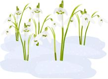 Spring snowdrop flowers. On snow (rasterize from vector Stock Photography