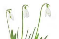 Spring snowdrop flowers Stock Photos