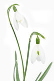 Spring snowdrop flowers Stock Photography