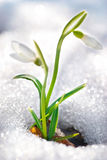 Spring snowdrop flowers stock images