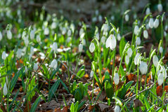 Spring snowdrop flowers Royalty Free Stock Images