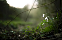 Spring snowdrop flowers. Beautiful spring snowdrop flowers in the forest on green background stock photos