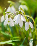 Spring snowdrop flowers blooming Royalty Free Stock Photography